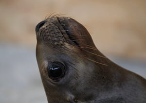 24 hours: Ralph the sealion at ORCA in Peru