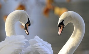 24 hours in pictures: London, England: Swans look towards each other in St James's park