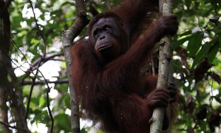 Two Indonesian plantation workers have been arrested for allegedly killing at least 20 orangutans