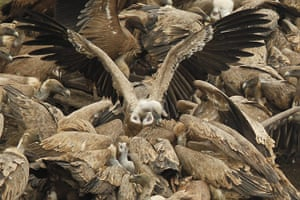 Week in Wildlife: Vultures eat a dead animal in the Jonte gorges in Cevennes national park