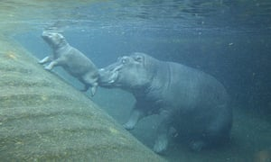 Week in Wildlife: Hippopotamus calf and mother Nicole are pictured at Berlin Zoo