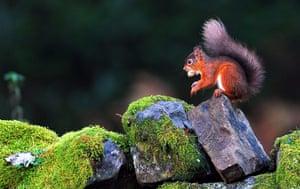 Week in Wildlife: A red squirrel eats a nut in Kielder Forest