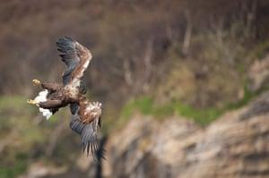 Week in Wildlife: White-Tailed Sea Eagle  Isle of Skye, Scotland