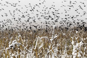 Week in Wildlife: Birds fly out of a snow covered cornfield in State College