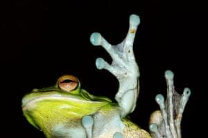 Week in Wildlife: White Lipped Tree Frog