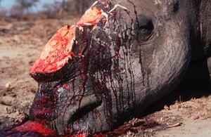 Week in Wildlife: White rhinoceros