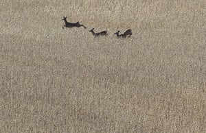 24 hours in pictures: Whitetail deer run through a soybean field in  Pennsylvania