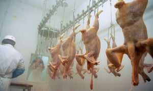 Freshly slaughtered plucked chickens on a rack in an abbatoir.