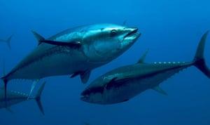 IUCN Red list: Atlantic Bluefin