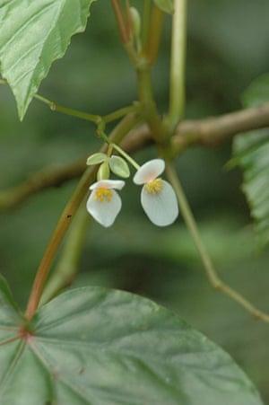 IUCN Red list: Begonia seychellensis