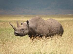 IUCN Red list: Black Rhino