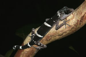 IUCN Red list: Paroedura masobe