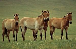 IUCN Red list: Przewalski's Horse