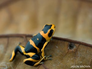IUCN Red list: Summers Poison Frog