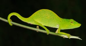 IUCN Red list: Tarzans Chameleon
