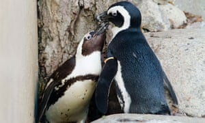 African penguins Pedro (right) and Buddy only have eyes for each other at Toronto zoo.