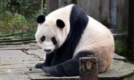 Yang Guang panda