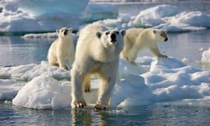 Polar bears in Frozen Planet