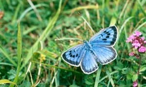 Large Blue Butterfly in Somerset