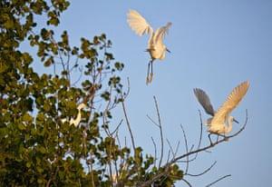Mozambique dhow trip: Dimorphic egrets