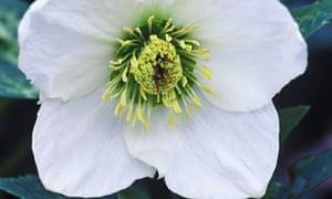 Plant of the week: Helleborus niger