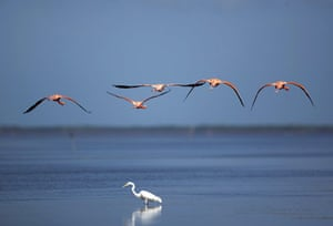 Week in wildlife: Flamingos fly over a heron at a wetland reserve in Celestun in Mexico