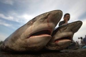 Week in wildlife: Sharks on fish market in Lampulo, Banda Aceh, Indonesia