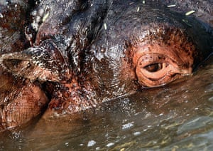 Week in wildlife: Hippopotamus swims in his pool during the wintery morning