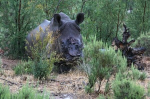 Week in wildlife: Pregnant white rhino de-horned by poachers, Worcester, South Africa