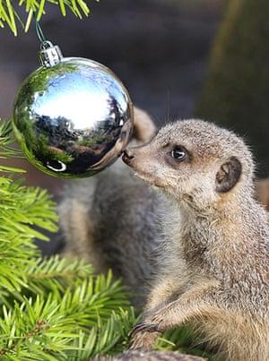 Meerkats enjoy Christmas: Christmas at Blair Drummond Safari Park