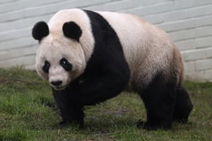 pandas in edinburgh: Tian Tian the female panda bear looks out from her enclosure