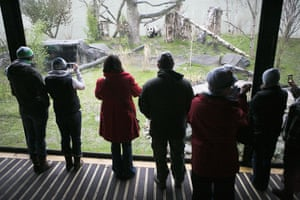 pandas in edinburgh: Visitors look at Tian Tian and Yang Guang in their enclosure