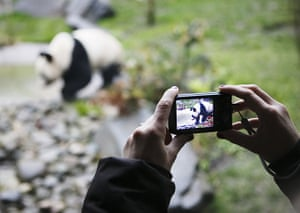 pandas in edinburgh: An onlooker photographs one of the bears