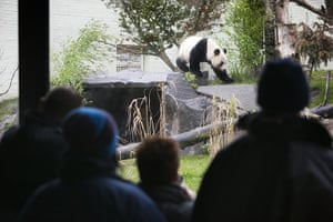pandas in edinburgh: Giant Pandas