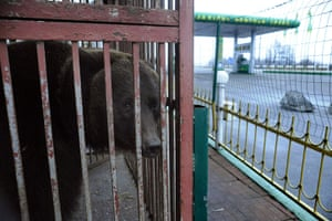 Week in wildlife: female bear, looks out from a cage near a gas station in Lityn