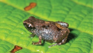 Week in wildlife: smallest frogs discovered in Papua New Guinea