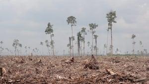 Week in wildlife:  clearance of natural forest by APP Ruas Utama Jaya