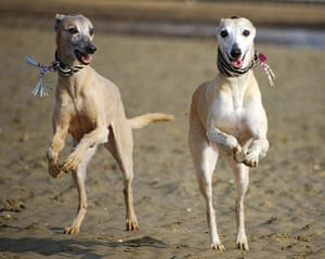 RSPCA Photography Awards: Two excited Whippets skipping along a beach