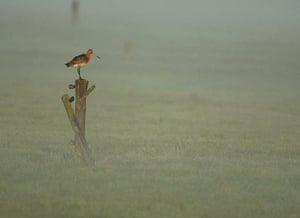 RSPCA Photography Awards: A Black Tailed Godwit standing one-legged on a post