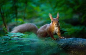 RSPCA Photography Awards: A red squirrel pausing in a ray of evening sunlight, taken by Will Nicholls