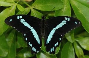 Kipepeo: Papilio nireus butterfly
