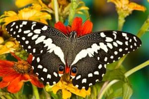 Kipepeo: Papilio demodocus the Orchard Swallowtail