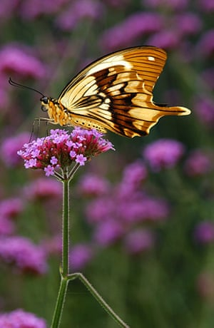 Kipepeo: Male Papilio dardanus butterfly feeding from flower