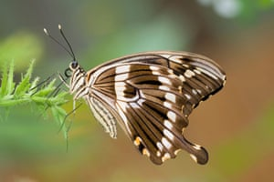 Kipepeo: Papilio constantinus swallow tail butterfly