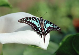 Kipepeo: Tropical Blue Swallowtail Butterfly Graphium antheus on a White Lily