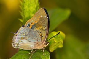 Kipepeo: Blue-spotted Charaxes Butterfly (Charaxes Cithaeron)