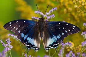Kipepeo: Blue-Spotted Charaxes Butterfly