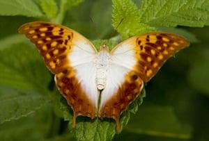 Kipepeo butterfly farm: Charaxes varanes