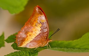 Kipepeo butterfly farm: Flame-Bordered Charaxes (Charaxes protoclea) butterfly in a green leaf