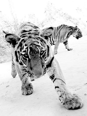 BT winners gallery 2011 : Tigers, Thailand